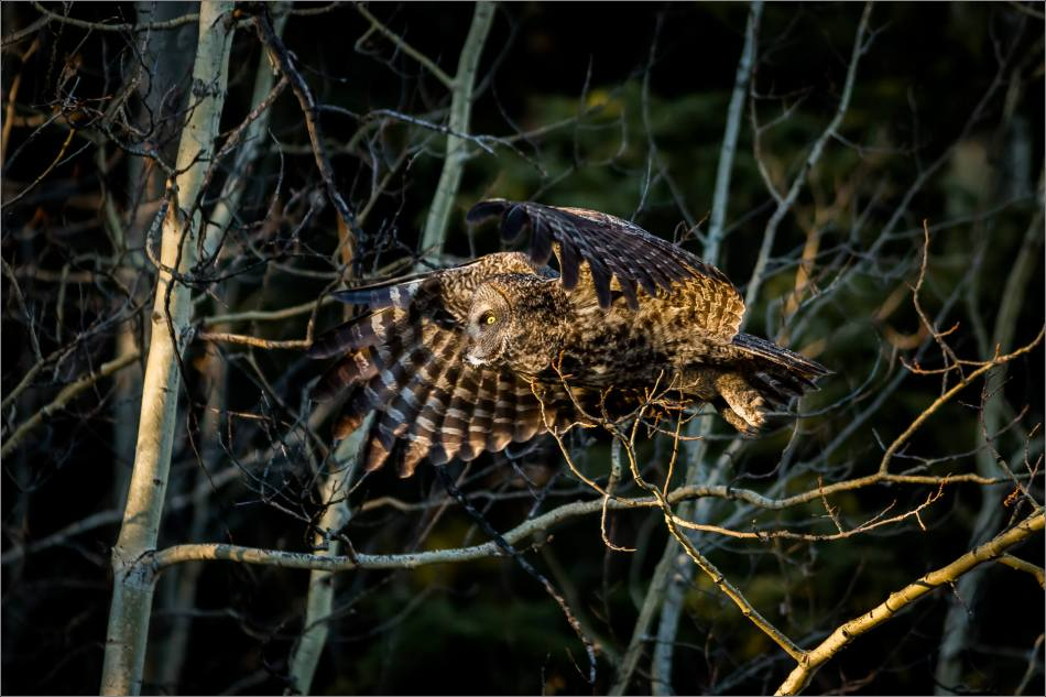 A Great gray owl in evening sunlight near Bragg Creek, Alberta