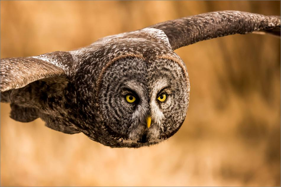great-gray-owl-christopher-martin-8200