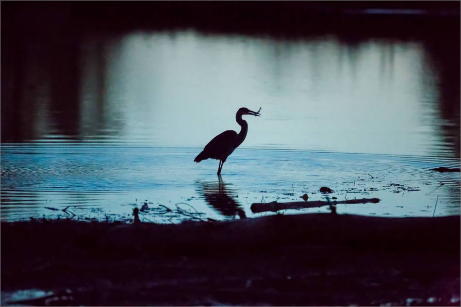 inglewood-heron-silhouette-christopher-martin-7194