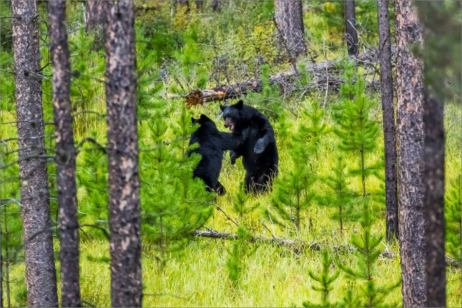 jasper-black-bears-at-play-christopher-martin-3307-3