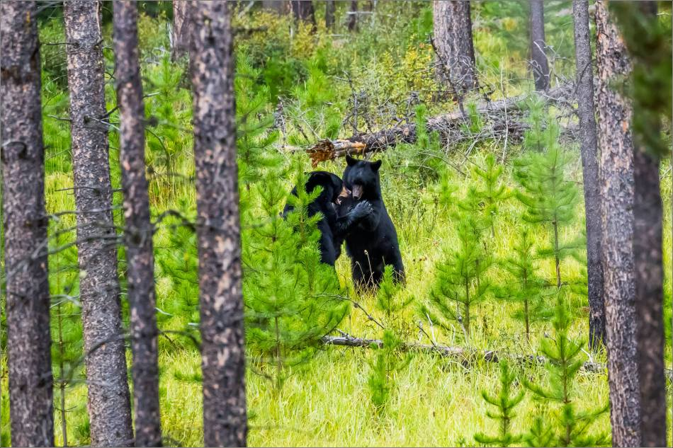 jasper-black-bears-at-play-christopher-martin-3313-2
