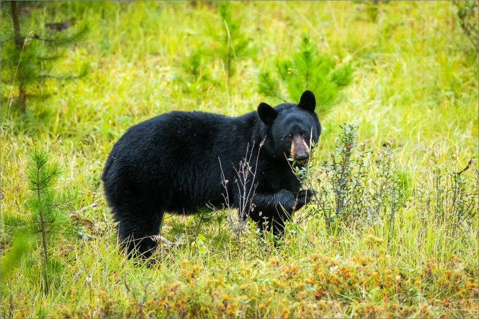 jasper-black-bears-at-play-christopher-martin-3540