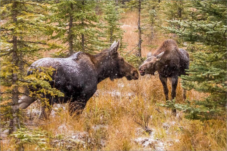 kananaskis-moose-christopher-martin-9407-2