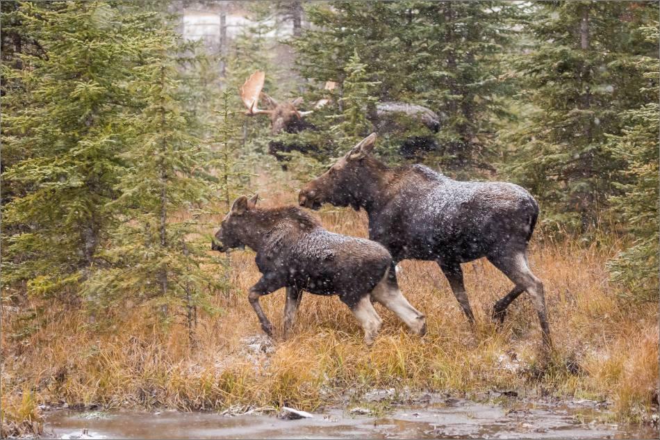 kananaskis-moose-christopher-martin-9456