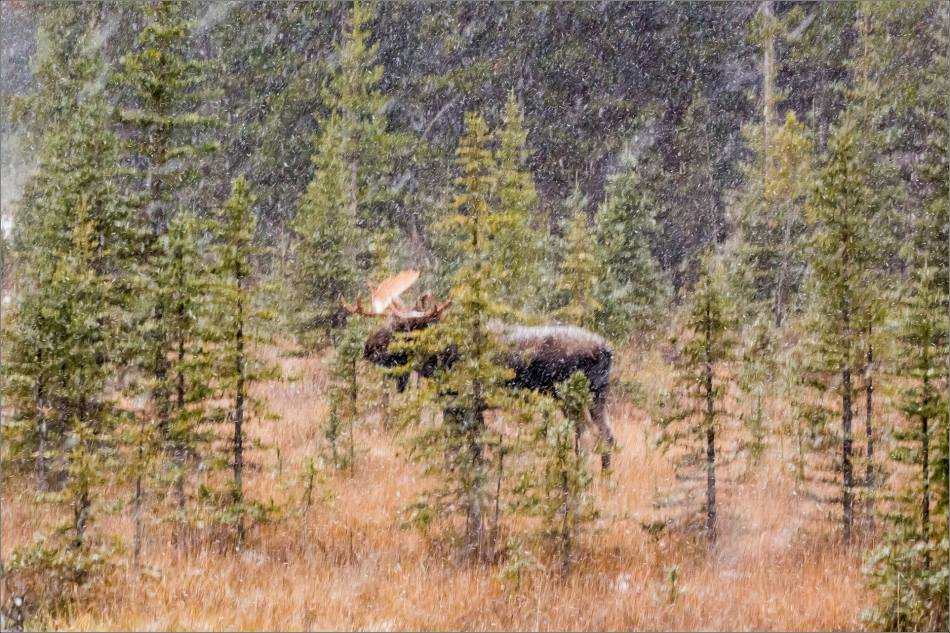 abstracted-kananaskis-moose-christopher-martin-9470