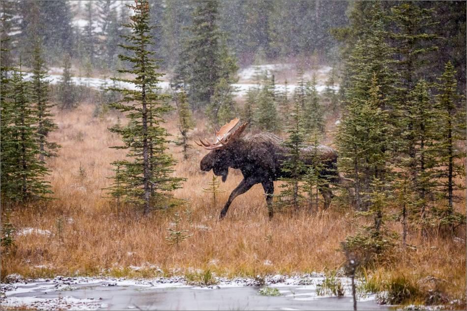 kananaskis-moose-christopher-martin-9477