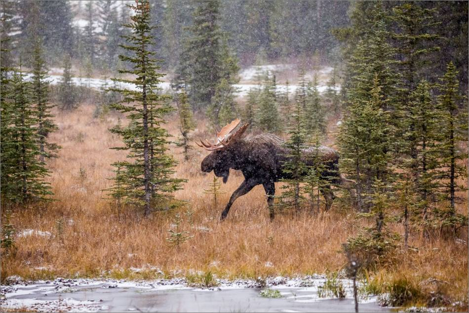 kananaskis-moose-christopher-martin-9477