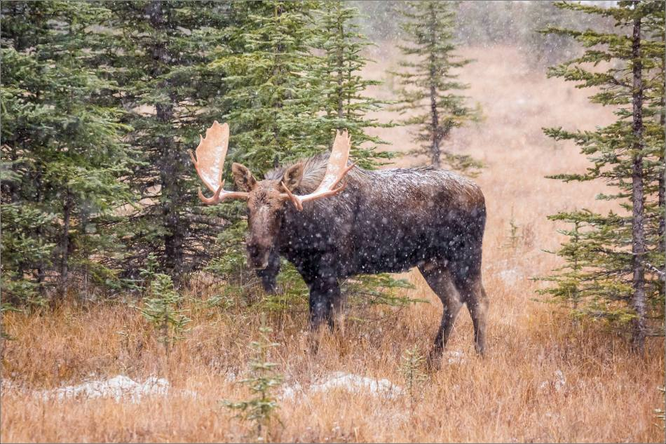 kananaskis-moose-christopher-martin-9506