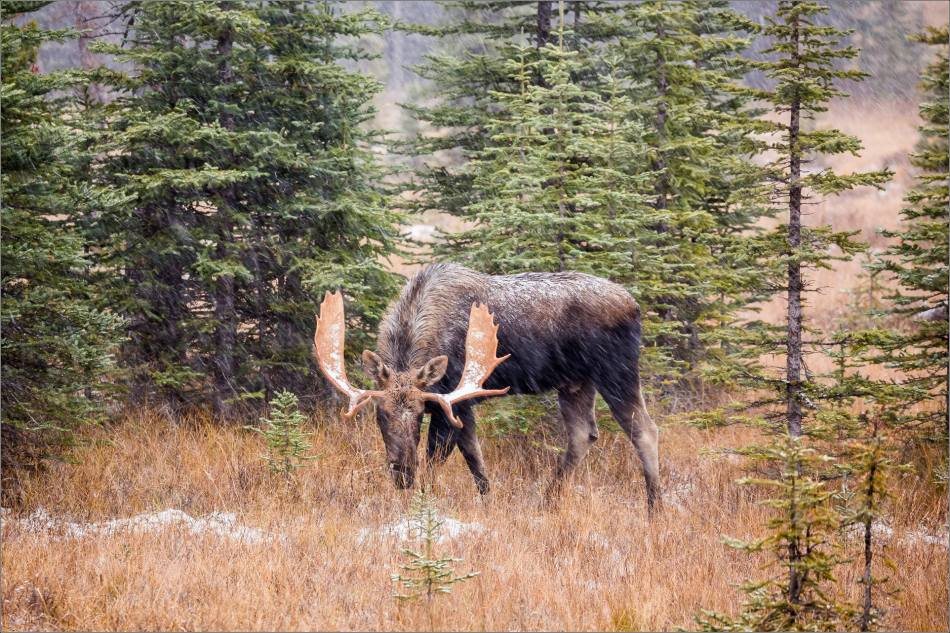 kananaskis-moose-abstracted-christopher-martin-9531