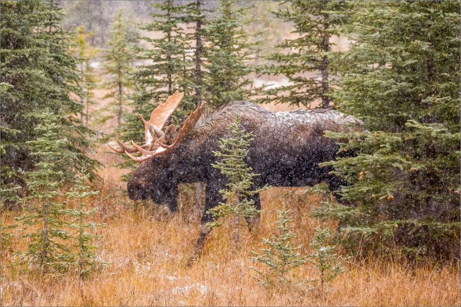 kananaskis-moose-christopher-martin-9623