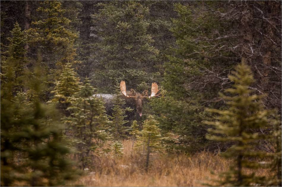 kananaskis-moose-christopher-martin-9791
