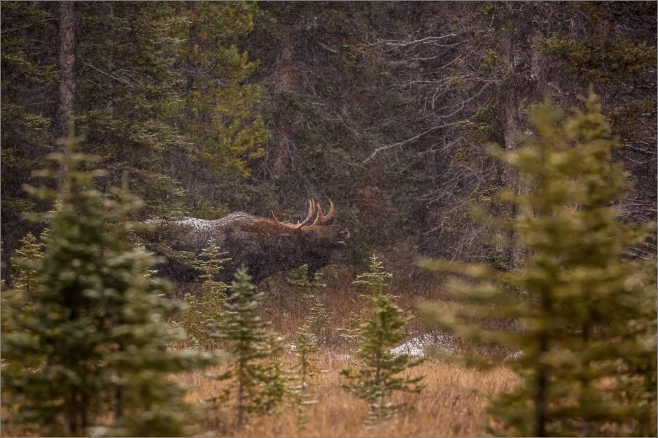 kananaskis-moose-christopher-martin-9814