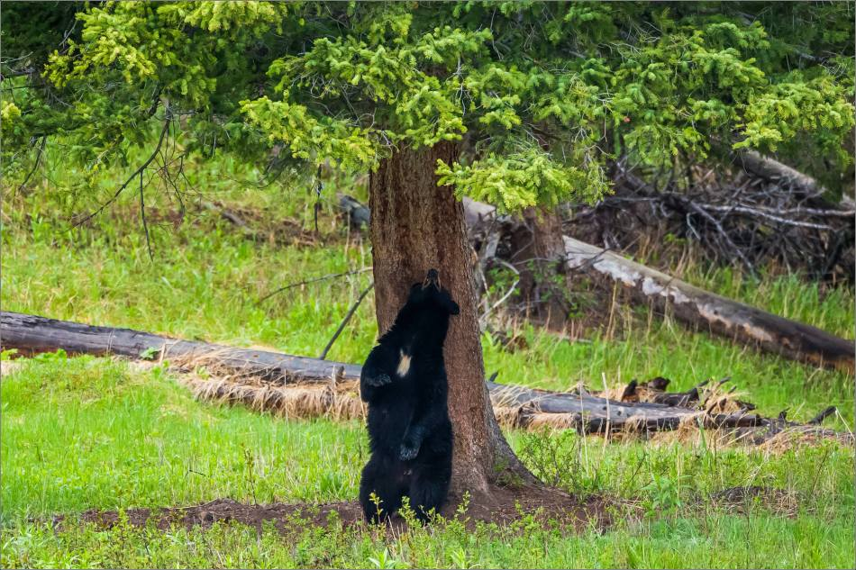 yellowstone-black-bear-chilling-out-christopher-martin-8518