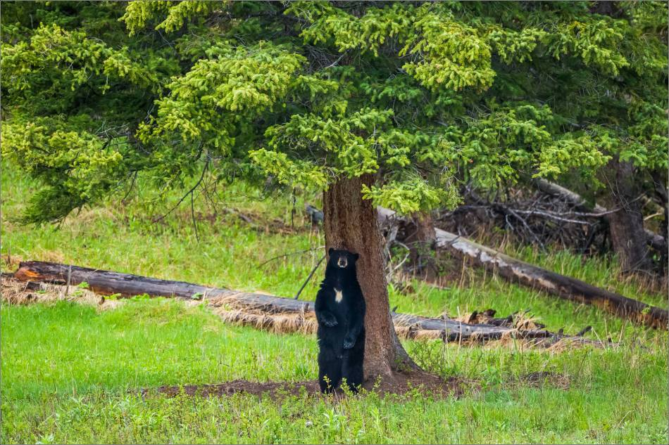 yellowstone-black-bear-chilling-out-christopher-martin-8520