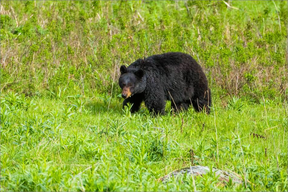 yellowstone-black-bear-chilling-out-christopher-martin-8542