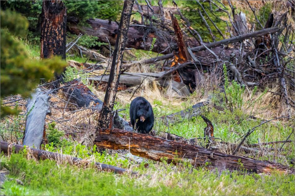 yellowstone-black-bear-chilling-out-christopher-martin-8657