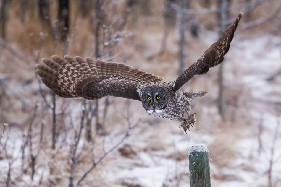 a-great-gray-owl-in-bragg-creek-christopher-martin-2541