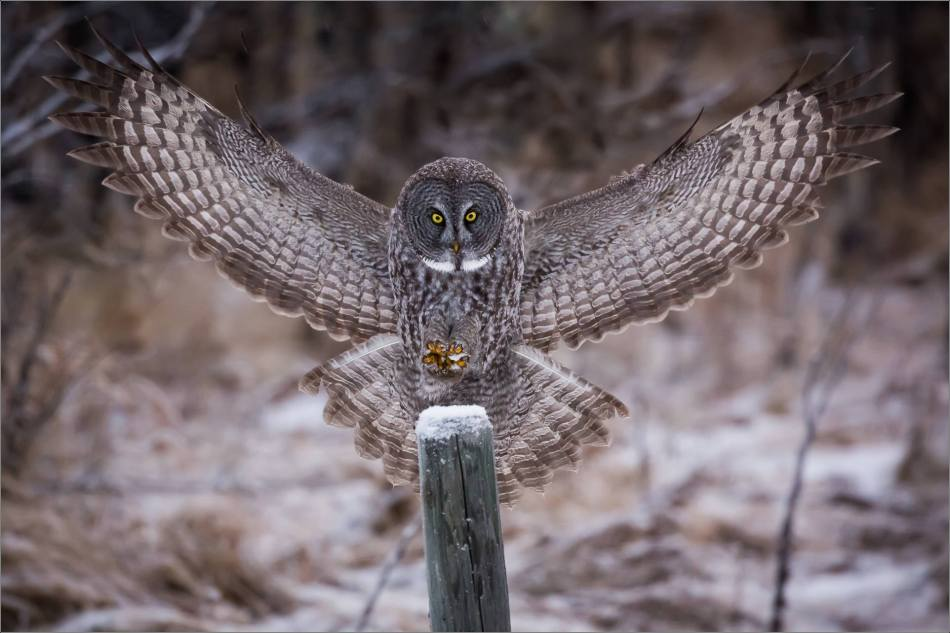 a-great-gray-owl-in-bragg-creek-christopher-martin-2546