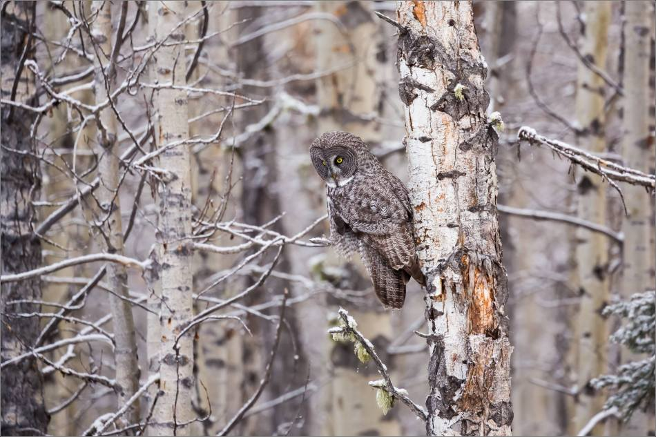a-great-gray-owl-in-bragg-creek-christopher-martin-2572