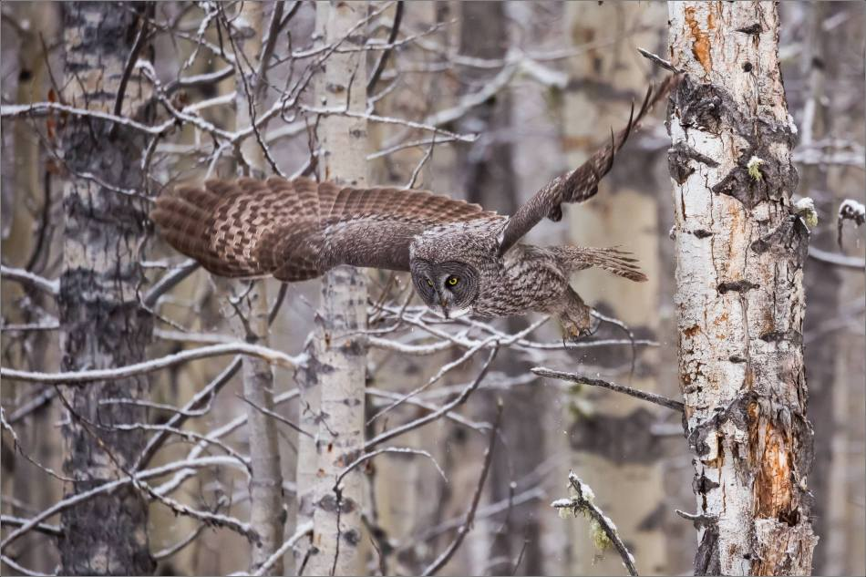 a-great-gray-owl-in-bragg-creek-christopher-martin-2584