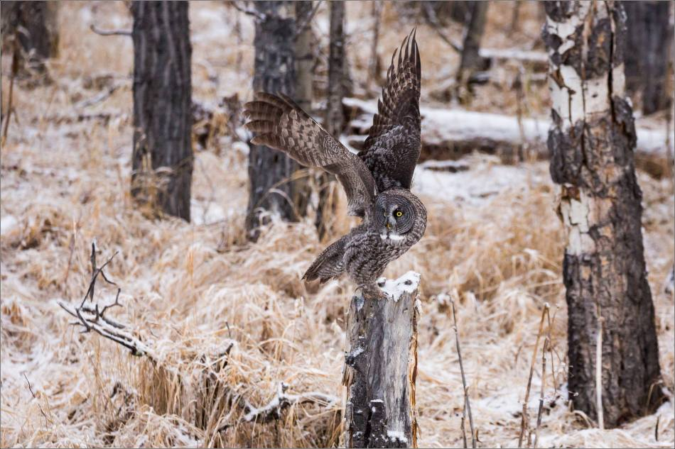 a-great-gray-owl-in-bragg-creek-christopher-martin-2604