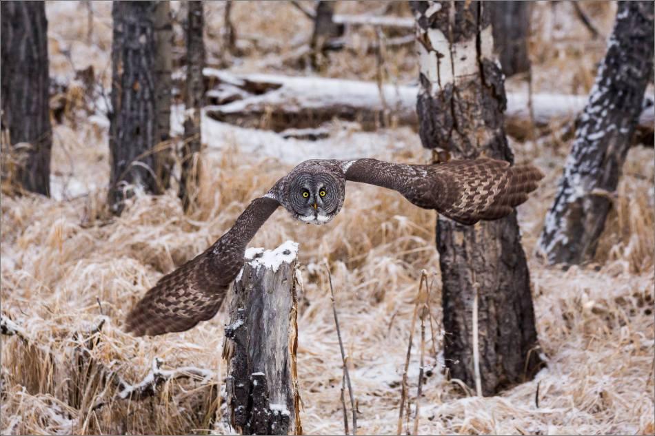 a-great-gray-owl-in-bragg-creek-christopher-martin-2606