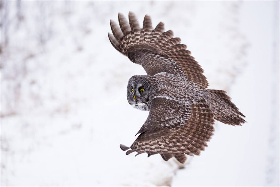 a-great-gray-owl-in-bragg-creek-christopher-martin-2629