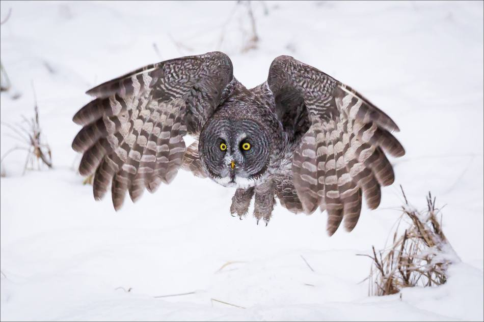 a-great-gray-owl-in-bragg-creek-christopher-martin-2662