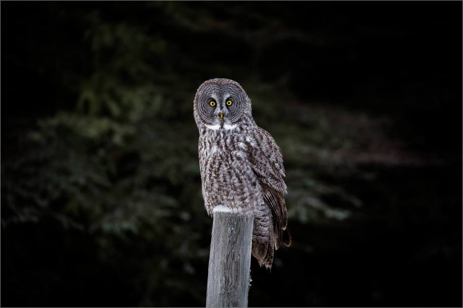 a-great-gray-owl-in-bragg-creek-christopher-martin-2695