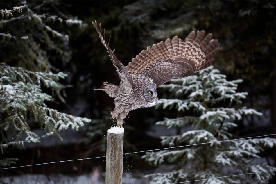 a-great-gray-owl-in-bragg-creek-christopher-martin-2704