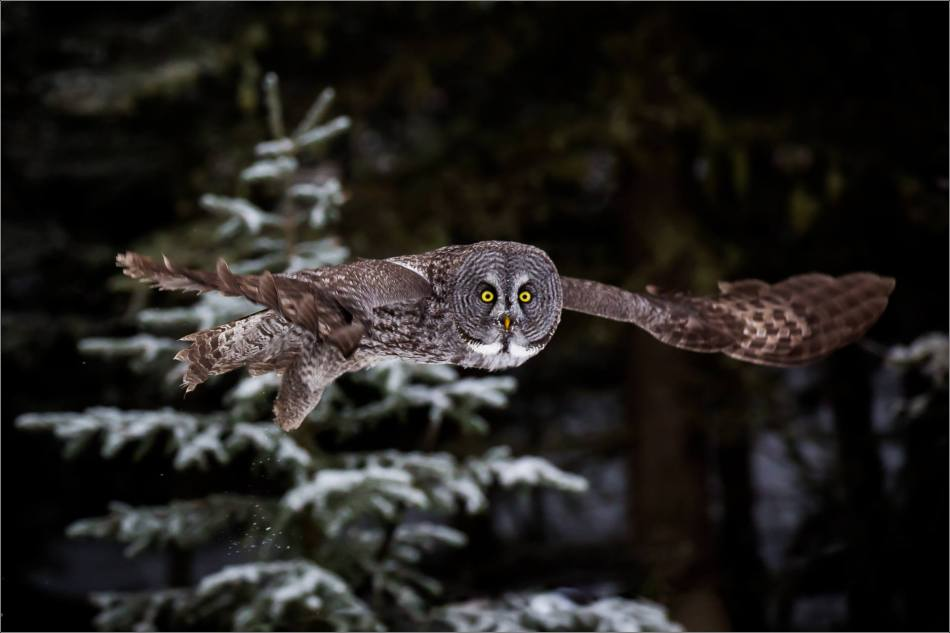 a-great-gray-owl-in-bragg-creek-christopher-martin-2706