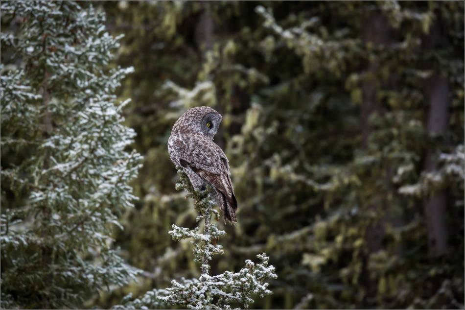 a-great-gray-owl-in-bragg-creek-christopher-martin-2718