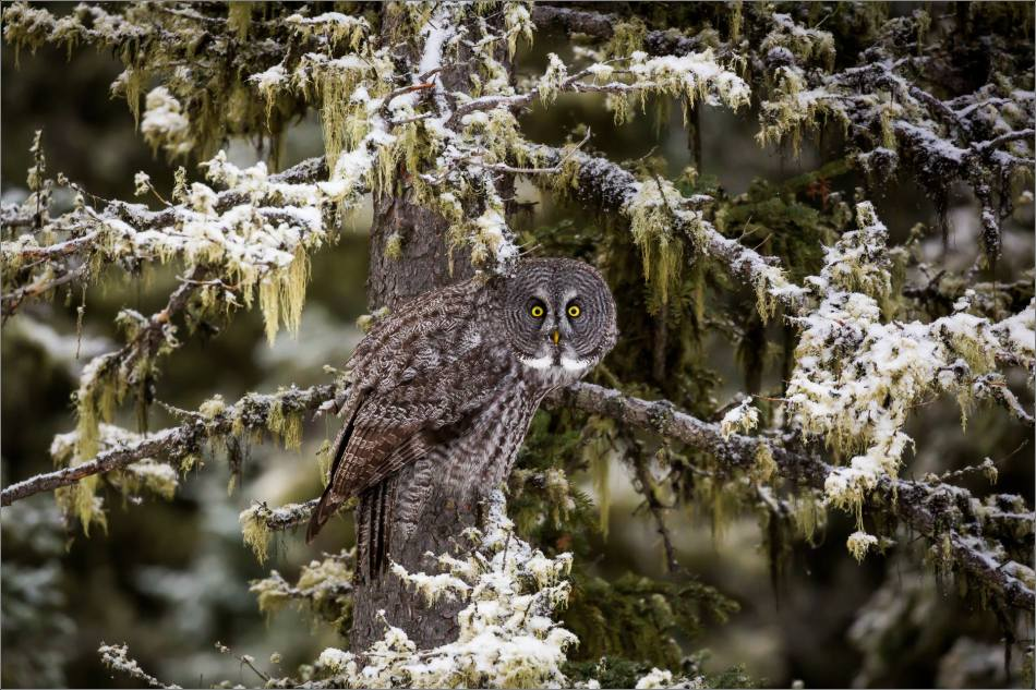 a-great-gray-owl-in-bragg-creek-christopher-martin-2729