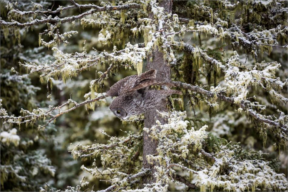 a-great-gray-owl-in-bragg-creek-christopher-martin-2738