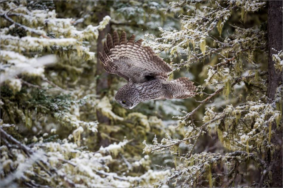 a-great-gray-owl-in-bragg-creek-christopher-martin-2741