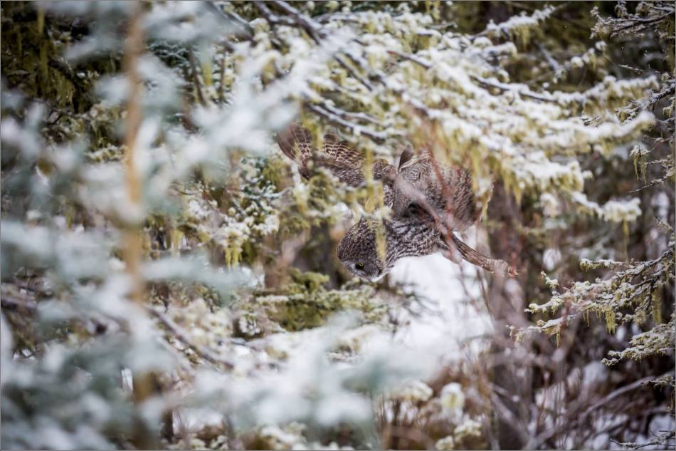 a-great-gray-owl-in-bragg-creek-christopher-martin-2742