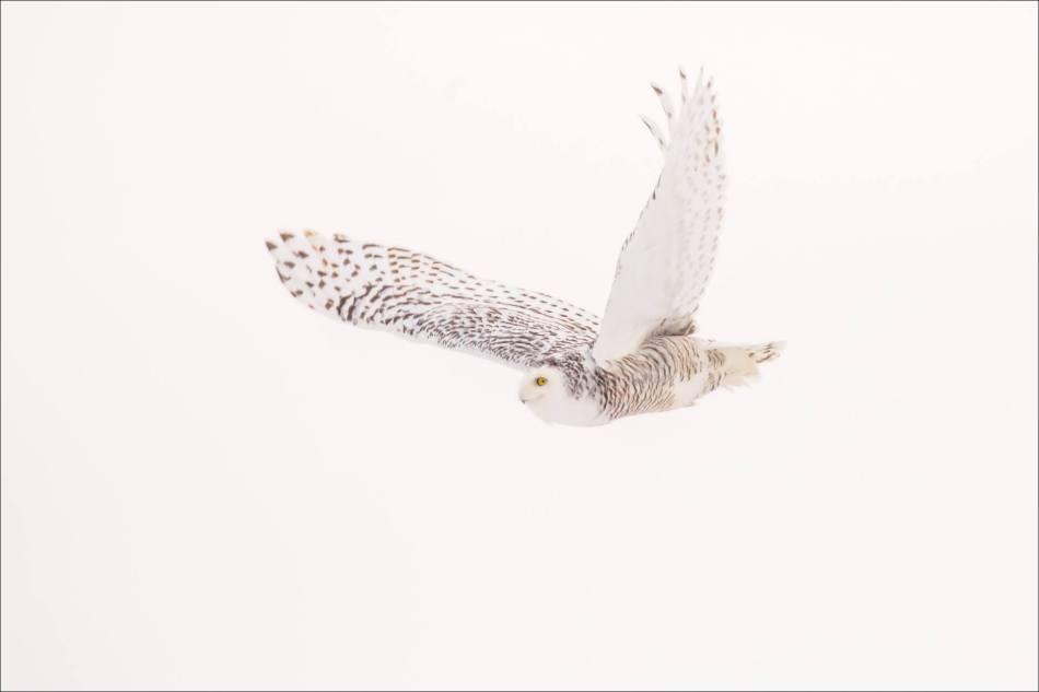 a-snowy-owl-christopher-martin-5806