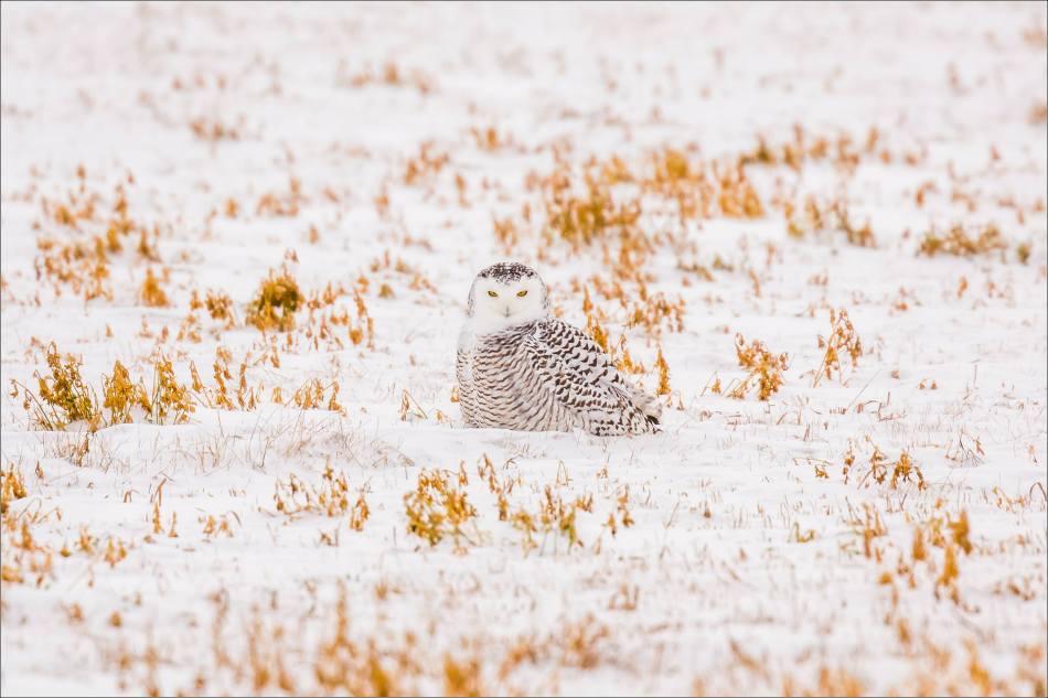 a-snowy-owl-christopher-martin-5833