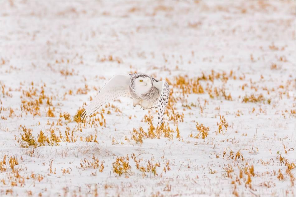 a-snowy-owl-christopher-martin-5838