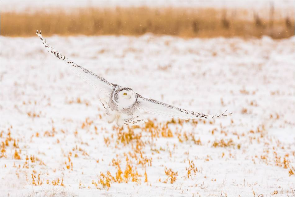 A Snowy owl on the Albertan prairie © Christopher Martin-5839