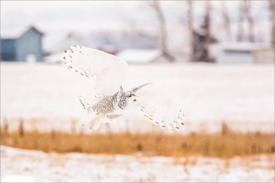 a-snowy-owl-christopher-martin-5843