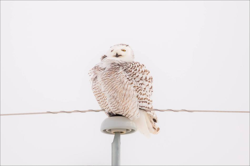 A Snowy owl on the Albertan prairie © Christopher Martin-5856