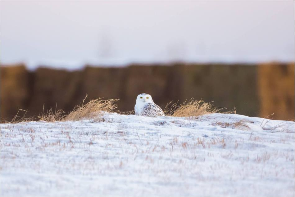 A Snowy owl on the Albertan prairie © Christopher Martin-6232