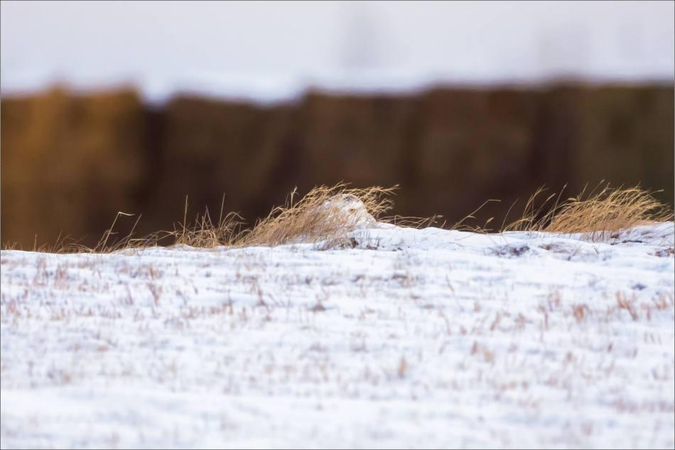 a-snowy-owl-christopher-martin-6253