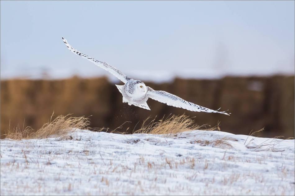 A Snowy owl on the Albertan prairie © Christopher Martin-6315