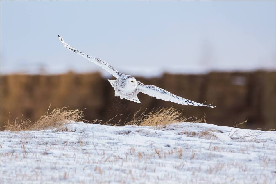 A Snowy owl on the Albertan prairie © Christopher Martin-6315