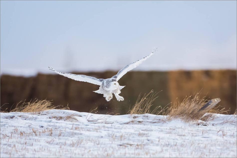 a-snowy-owl-christopher-martin-6318
