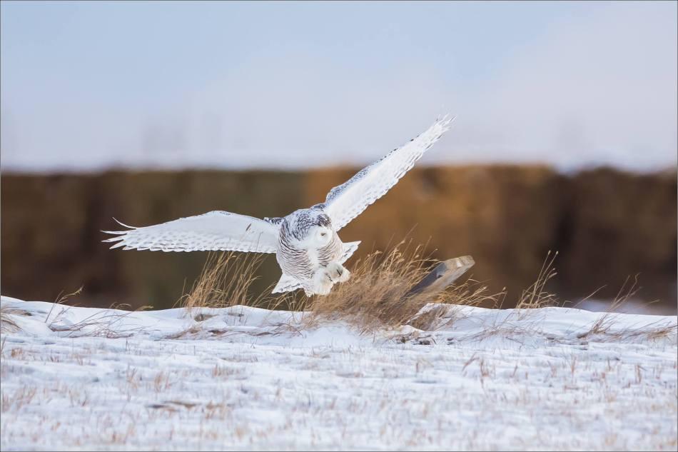A Snowy owl on the Albertan prairie © Christopher Martin-6320