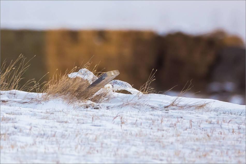 a-snowy-owl-christopher-martin-6323
