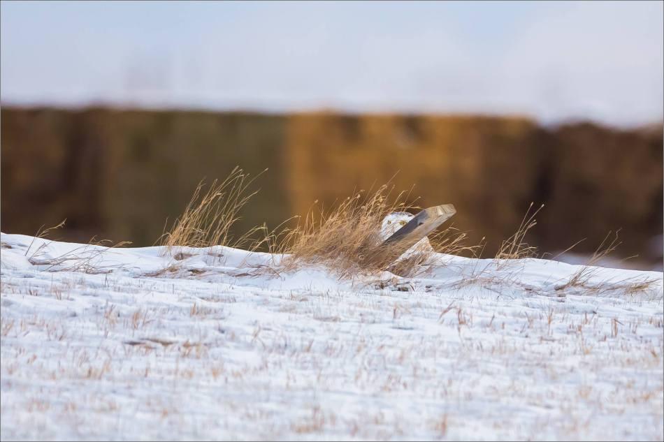 a-snowy-owl-christopher-martin-6326
